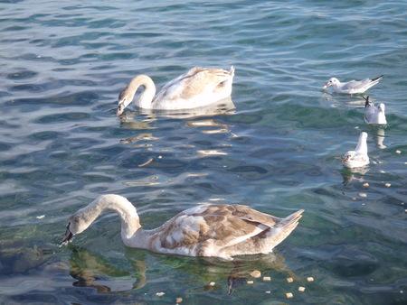 birds swans sea gulls water swan sky wild 스톡 콘텐츠