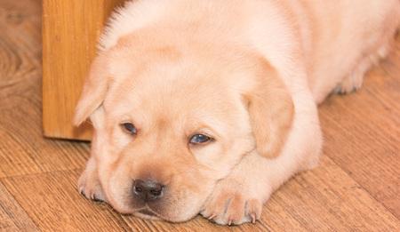 Labrador Retriever puppy is going to sleep