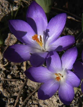 Two Crocus in Early morning Spring sunshine photo