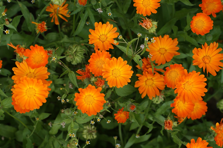 Calendula orange flowers