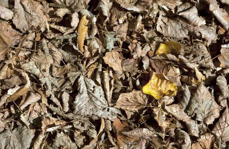 spreaded: Fallen dry leaves. Natural background