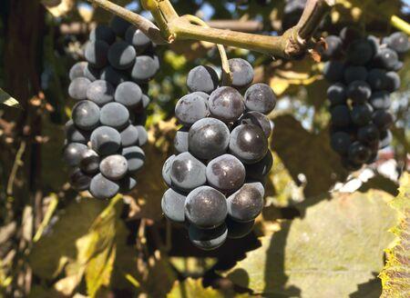 alimentos y bebidas: Uva de vino rojo. Alimentos, bebidas e ingredientes. Foto de archivo