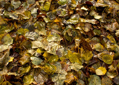 spreaded: Wet fallen leaves. Seasonal background Stock Photo