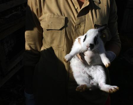 lagomorpha: Woman holding white rabbit. Farming.