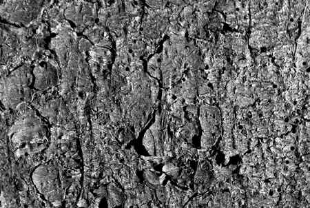 weathered: Natural pine tree bark pattern in black and white. Abstract background and texture.