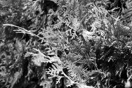 thuja occidentalis: Black and white thuja close-up with blur effect. Natural plant pattern and background.