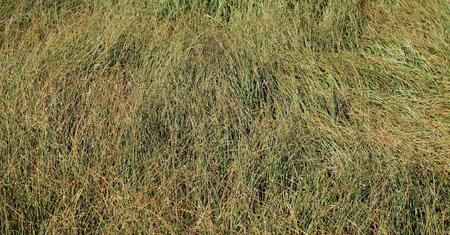 wild grass texture. Faded Wild Grass Background. Abstractt Texture As Wallpaper. Stock Photo -  90171458 W