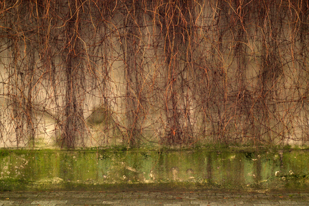 Dry ivy on grungy cement wall. Abstract background.