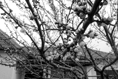 Apricot tree in bloom in black and white. Spring seasonal background. Banco de Imagens