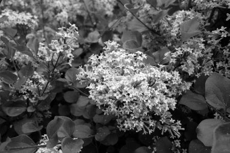 Lila blüht in Schwarz und Weiß. Natürliche Textur und Hintergrund.