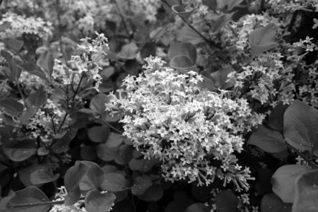 Lilac in bloom in black and white. Natural texture and background.
