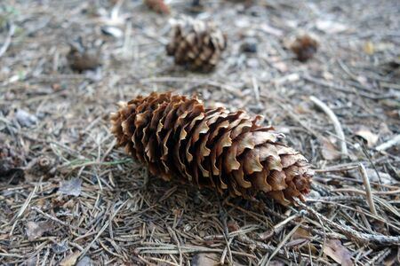 Pine cone on the ground in the forest. Natural view and background.   免版税图像