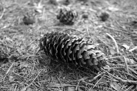 Pine cone on the ground in the forest in black and white. Natural view and background.