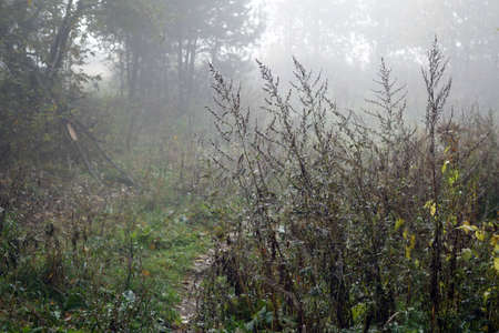 Morning in foggy forest. Seasonal natural wild background                                             版權商用圖片