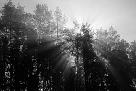 Sun rising from tree tops in forest. Seasonal summer background.