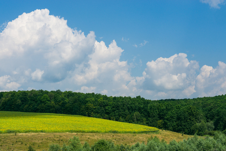 nutricion: beautiful summer landscape. field of green wheat on a hills with blue sky, big clouds and trees as bounds at sunny day