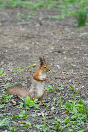 squirrel standing on hind legs in a ground and looking to infinity Stock Photo