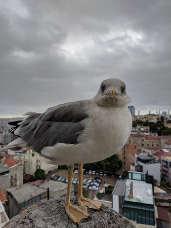 closeup portrait of cute sea gull looking staring at you. where is my feed man. Im hungry Stok Fotoğraf
