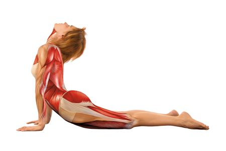anatomy muscles: Woman in yoga asana in front of white BG with 3d muscles