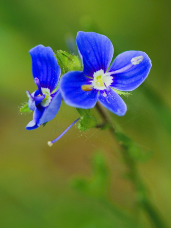 Spring meadow beauty, blue color flower