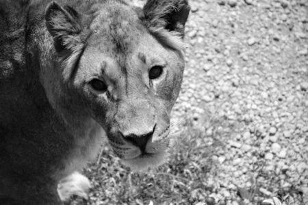 lioness: Lioness in Crimea