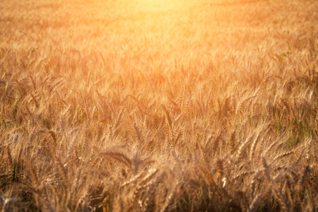 Wheat field in summer during sunrise photo