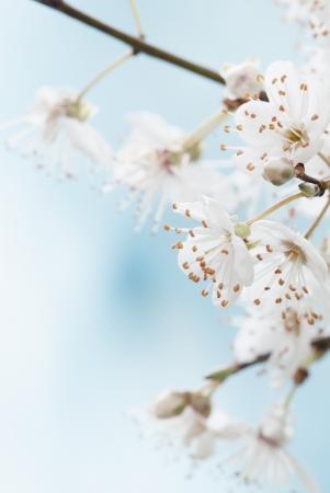Pale Spring blossom macro  photo