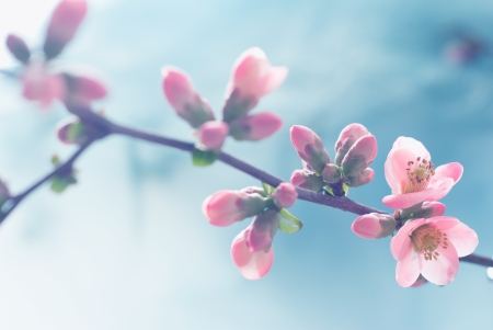 to blossom: Pastel tones Spring blossom macro