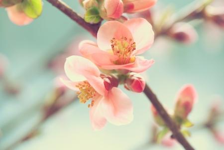cherry: Pastel tones Spring blossom macro