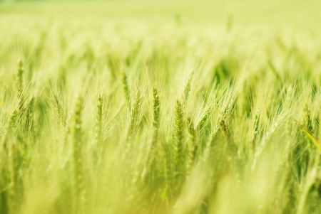 the field and in depth: Green wheat field bathing in sunlight with shallow depth of field