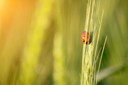 Tiny ladybird  Coccinellidae  among grass photo
