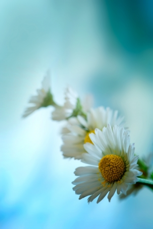 Tiny daisy  Bellis perennis  with blue background  Stock Photo