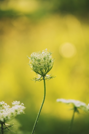 queen anne   s lace: Queen Anne s Lace wildflower during sunrise  Stock Photo