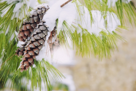 pone: Snowy spruce tree branch with two pone cones