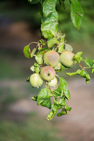 Apple tree branch Stock Photo - 25679380