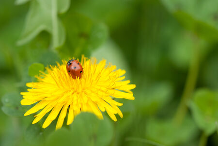 Tiny ladybird  Coccinellidae  on yellow flower photo