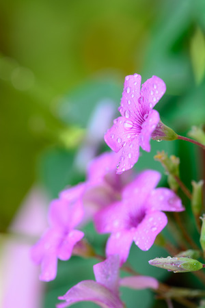 Gentle pink flower with dew drops green background  Shallow depth of field  photo