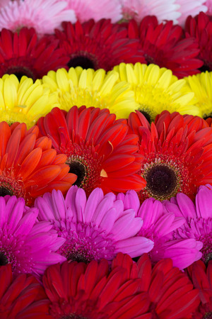 Gerbera flowers background photo