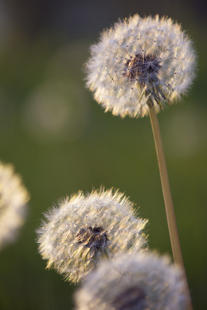 Tiny Spring dandelions bathing in the last rays of the setting sun