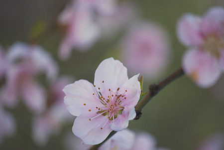 Pastel tones pink Spring blossom macro