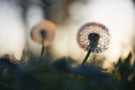 Tiny dandelion bathing in the last rays of the setting sun Stock Photo