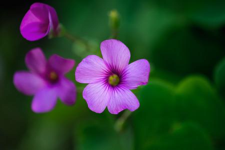 Geranium flower macro with shallow depth of field photo