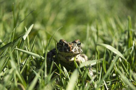 chordates: marsh frog