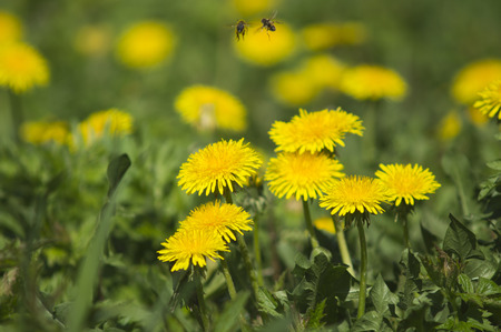 Bees fly on a dandelion flower in spring in May