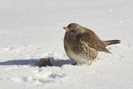 Bird thrush sitting in the snow Stock Photo