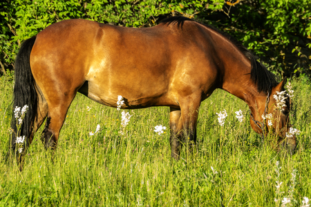 Horse grazes and eats grass in summer
