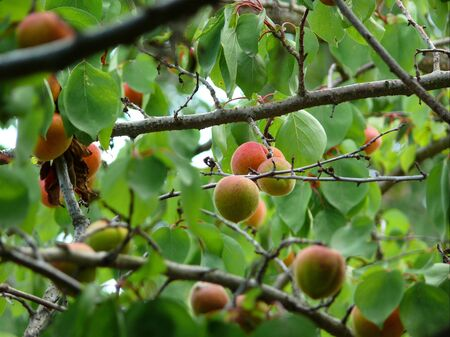 Apricot crop on trees in summer