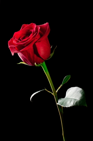 The studio photo of a red rose on a black background