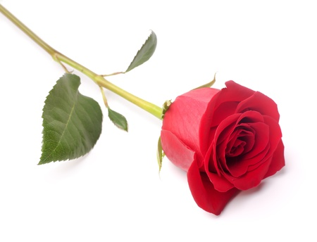 red roses: rosa roja sobre un fondo blanco Foto de archivo