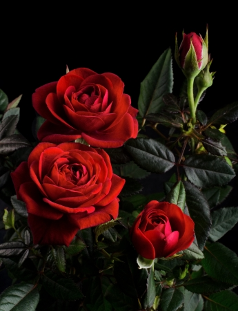 rose-bush: Krzak róży pot still life Zdjęcie Seryjne